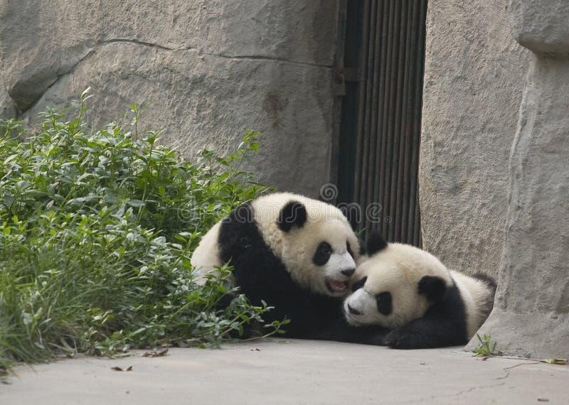 Download Pandagröngölingar arkivfoto. Bild av porslin, djurliv - 27278278