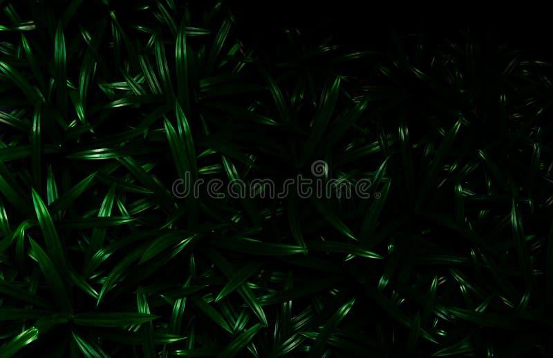 pandan叶子纹理背景 绿色离开与美好的样式在有机概念的密林 回归线的自然植物 免版税库存照片