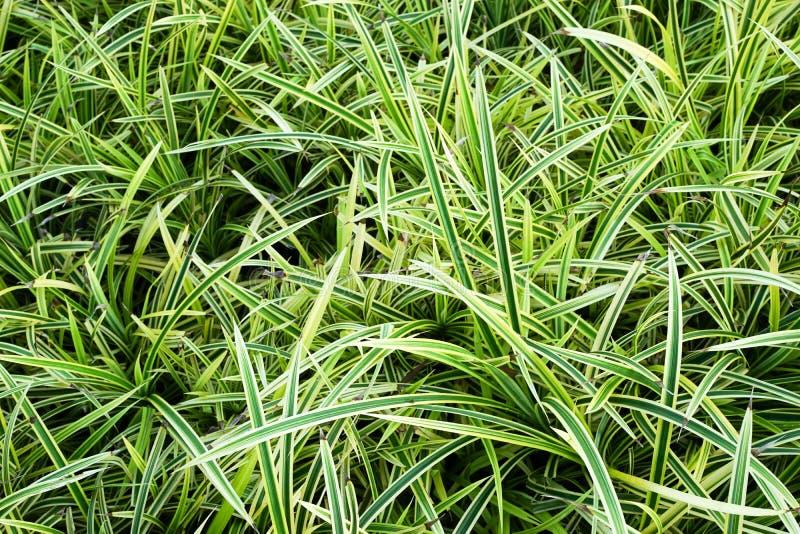 Pandan gras im garten stockbild bild von gras gr n 62351667 - Garten ohne gras ...