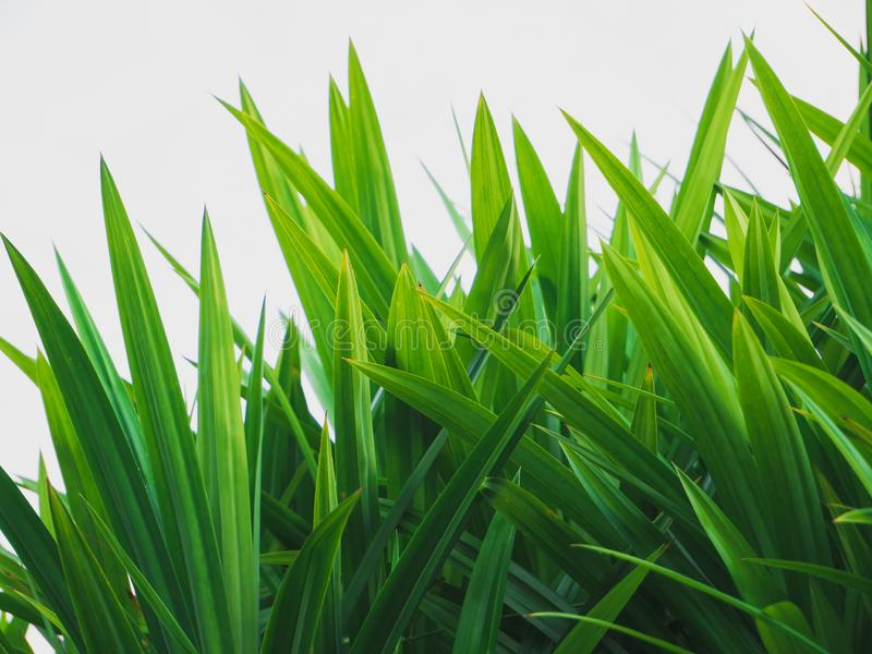 Pandan tropical plant. Green natural fresh leaves background stock photos