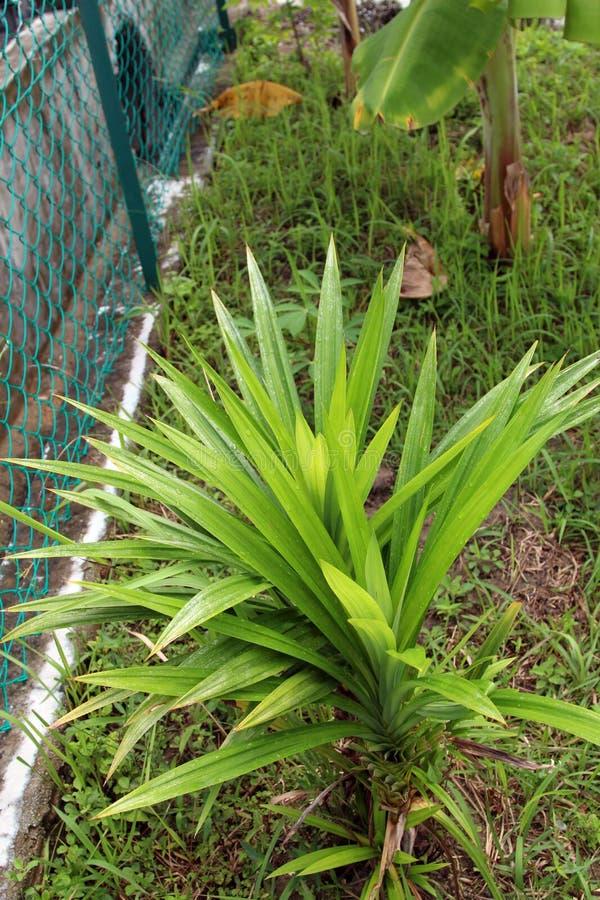 Pandanus Amaryllifolius imagem de stock