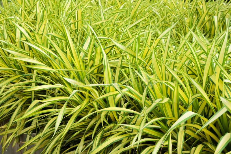 Pandanus baptistii Schrauben-Palme im tropischen Garten lizenzfreie stockfotografie