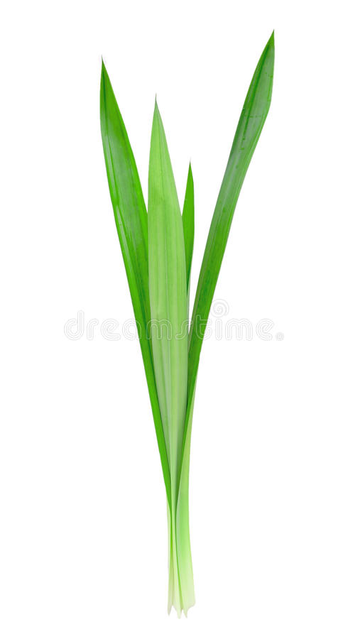 Download Pandanus Palm , Fragrant Pandan Stock Image - Image: 36091557