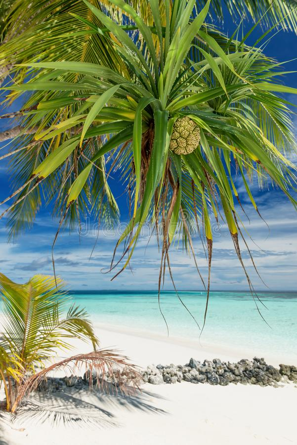 Pandanus Palm Fruit fotografia stock