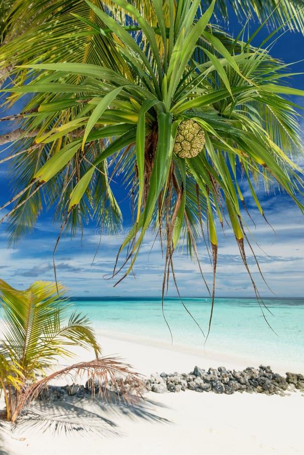 Pandanus Palm Fruits photographie stock