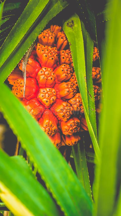 Pandanus tectorius fruit and green foliage on tropical palm tree. Close up stock photo