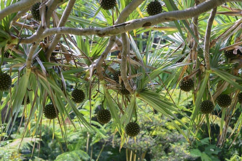 Pandanus tectorius. Fruit of Pandanus tectorius on a green palm stock photo