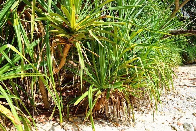 Pandanusen Odorifer - Kewda eller paraplyträd med långa taggiga sidor - sörja - den tropiska växten av Andaman Nicobar öar royaltyfri fotografi