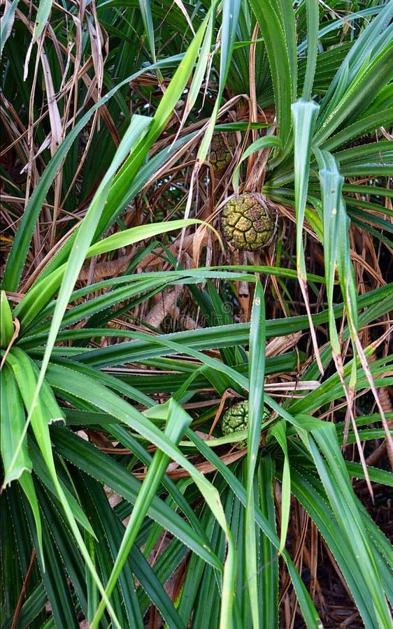Pandanusen Odorifer - Kewda eller paraplyträd med sidor och omogen frukt - skruven sörjer - den tropiska växten av Andaman Nicoba arkivfoton