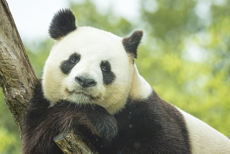 Pandaporträt lizenzfreies stockbild