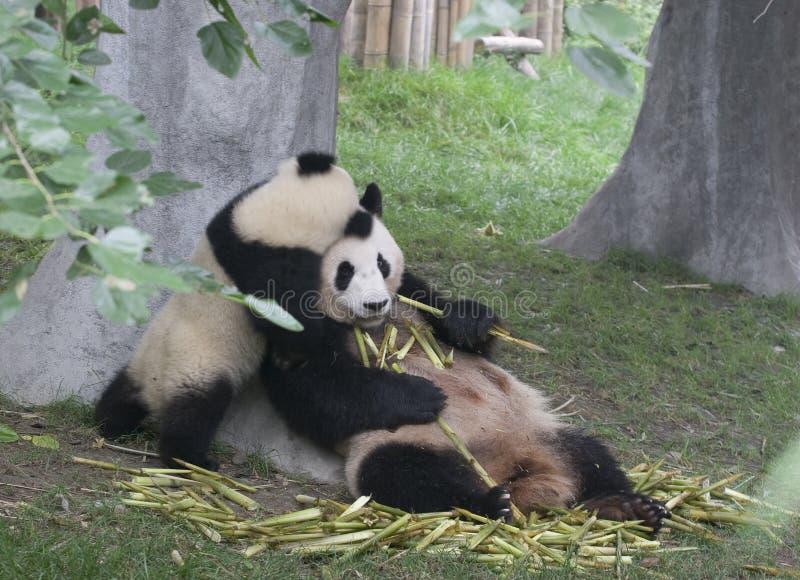 Pandas imagen de archivo