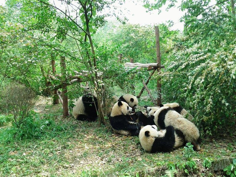 pandas photographie stock