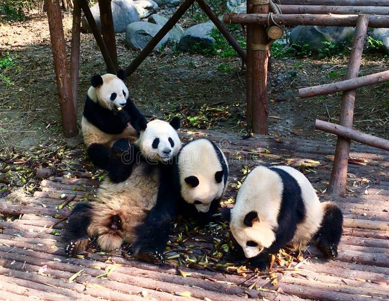 pandas lizenzfreie stockfotos