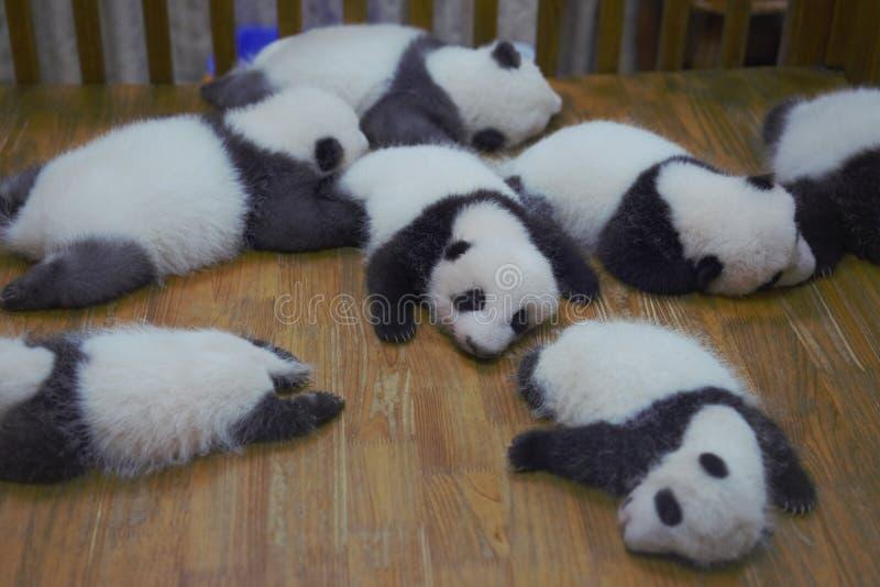 Pandas Chengdu do bebê fotografia de stock