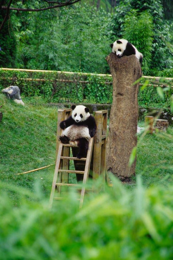 pandas del bebé fotos de archivo