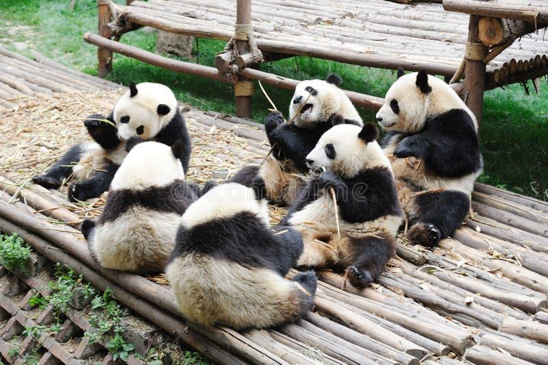 Pandas, die Bambus essen stockbild