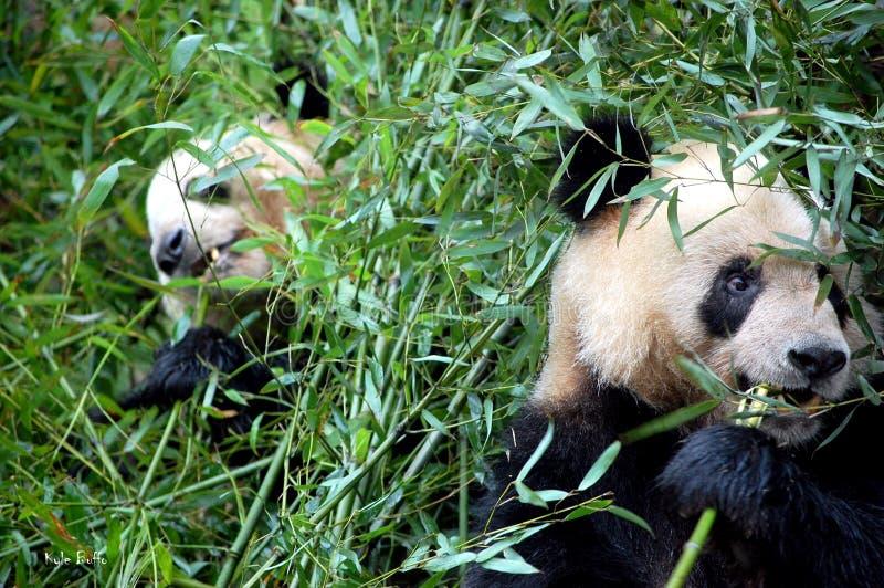 Pandas gigantes imagem de stock royalty free