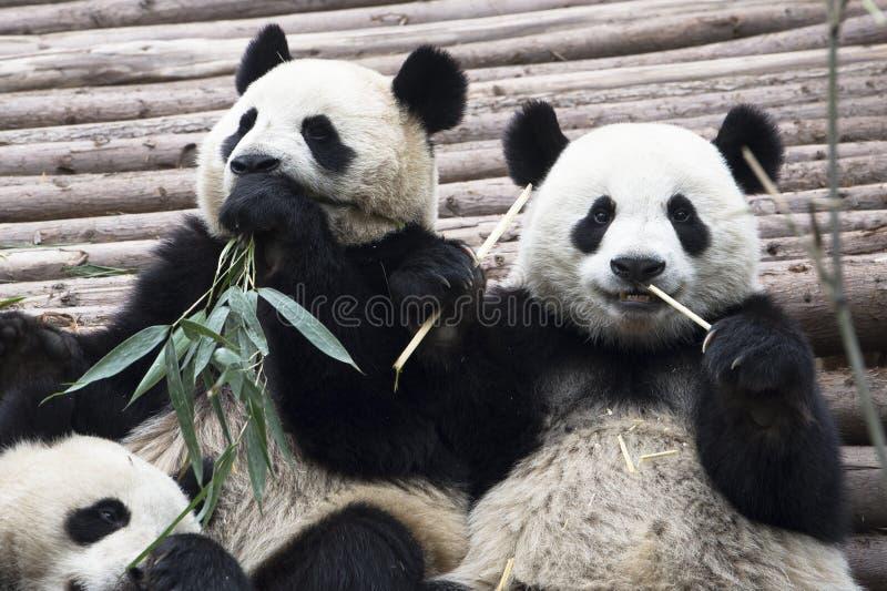 Pandas gigantes fotos de stock royalty free