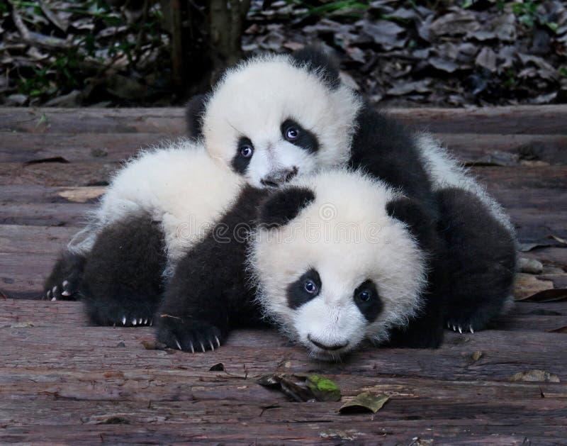 Pandas gigantes do bebê brincalhão e adoráveis imagem de stock