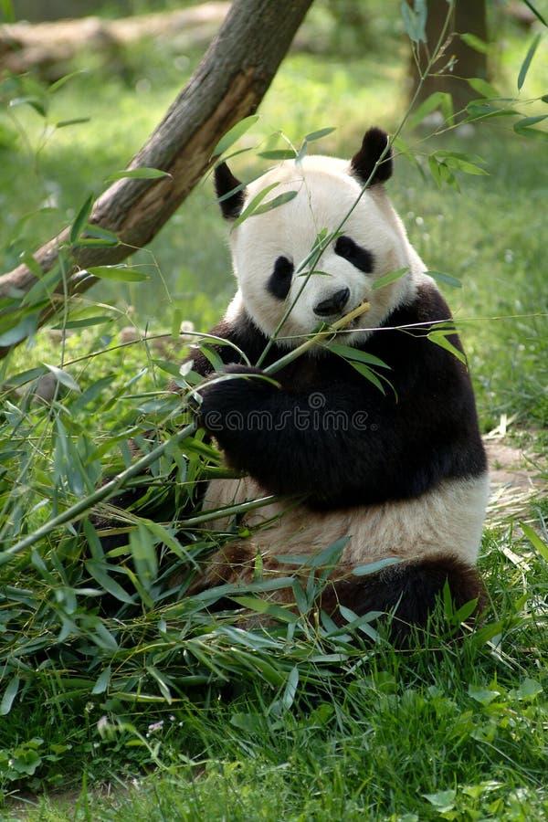 Pandas gigantes en un campo fotos de archivo