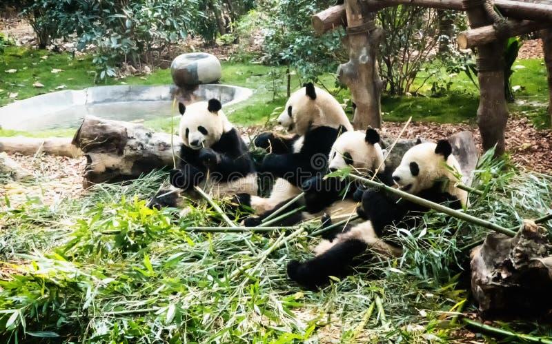 Pandas gigantes que comen el bambú imágenes de archivo libres de regalías