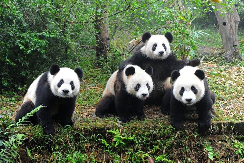 Pandas gigantes que levantam para a câmera fotografia de stock royalty free