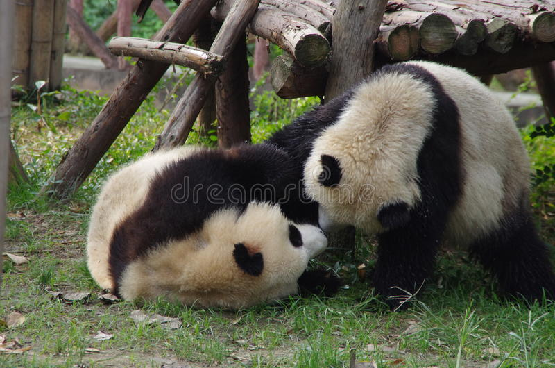 Pandas lindas imagen de archivo libre de regalías