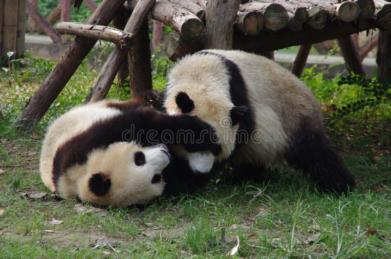 Pandas lindas imagenes de archivo