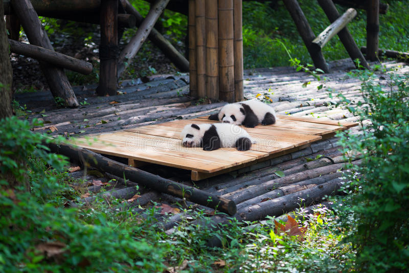 Pandas recém-nascidas do bebê que encontram-se para baixo na floresta foto de stock royalty free