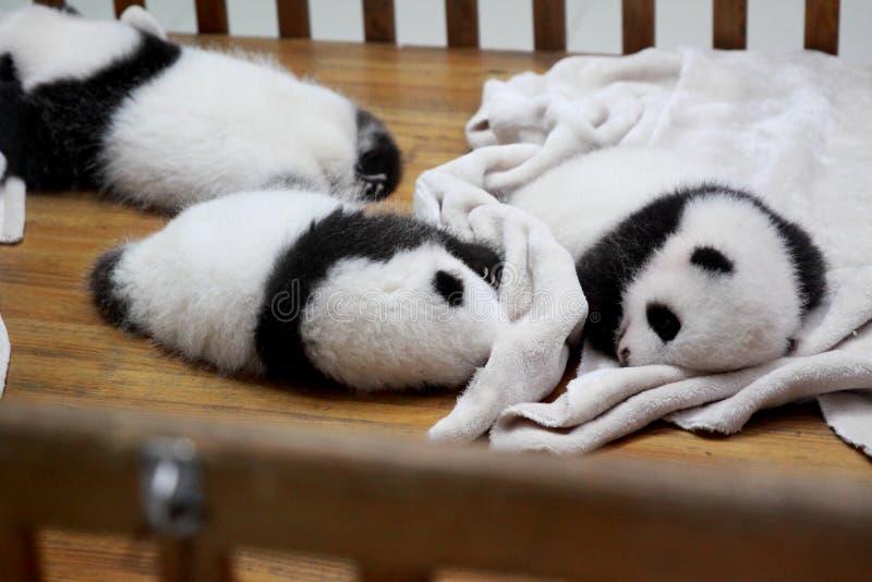 Pandawelpen royalty-vrije stock foto