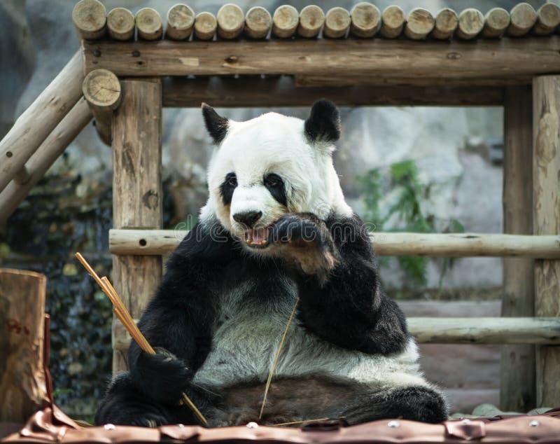 Pandazitting, en het eten van bamboe royalty-vrije stock foto