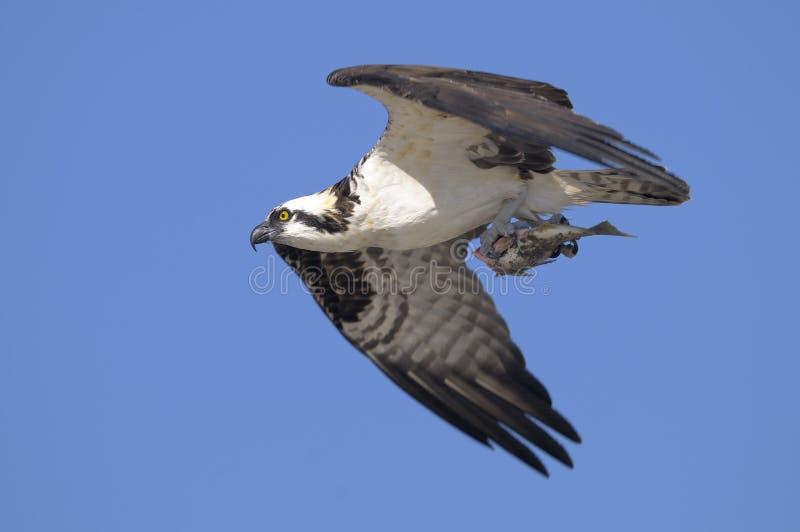 pandion osprey haliaetus стоковые фотографии rf
