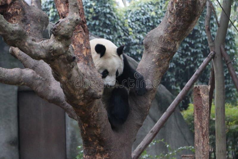 Pandor i Chengdu, Kina fotografering för bildbyråer