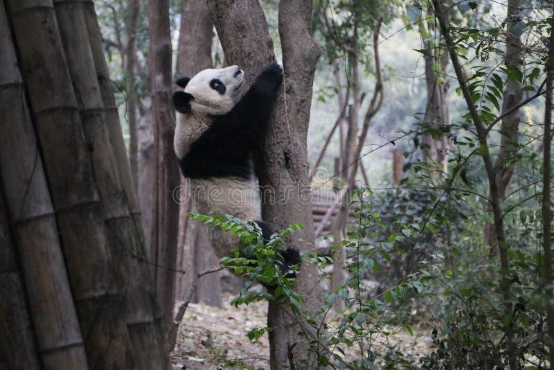 Pandor i Chengdu, Kina arkivfoton
