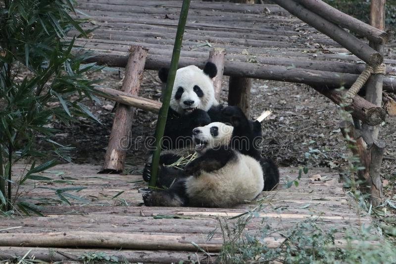 Pandor i Chengdu, Kina royaltyfri bild