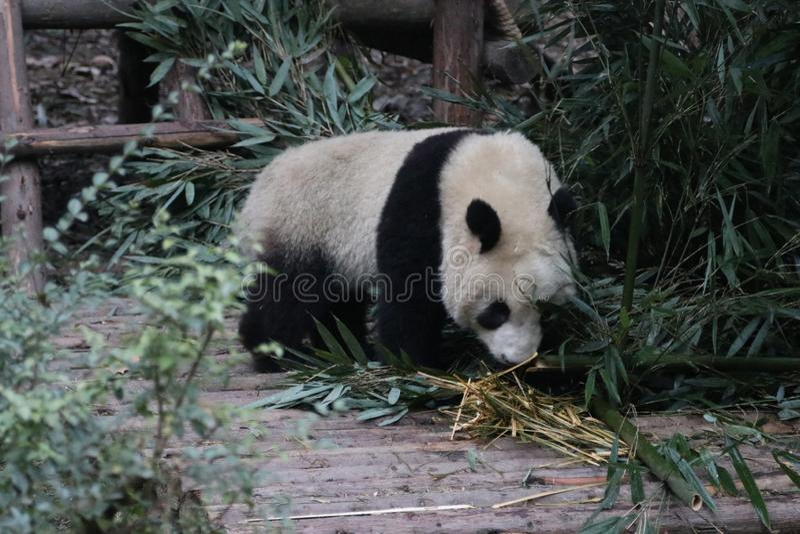 Pandor i Chengdu, Kina royaltyfri fotografi