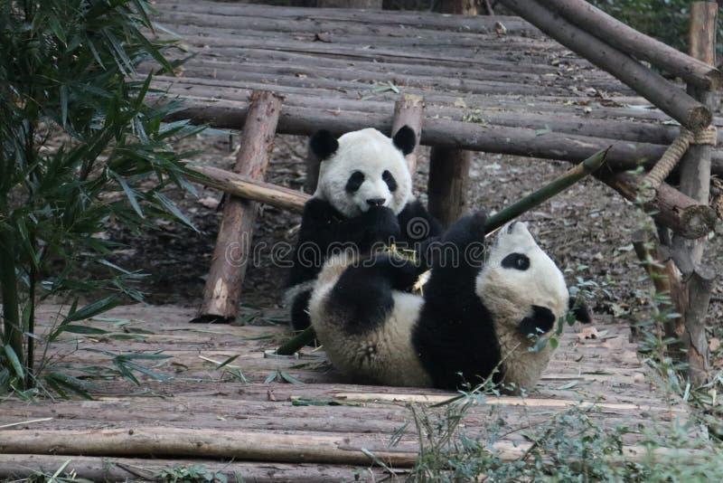 Pandor i Chengdu, Kina royaltyfria foton