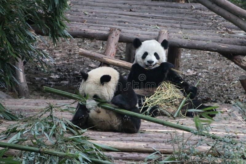 Pandor i Chengdu, Kina royaltyfria bilder