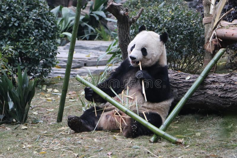 Pandor i Chengdu, Kina arkivbilder