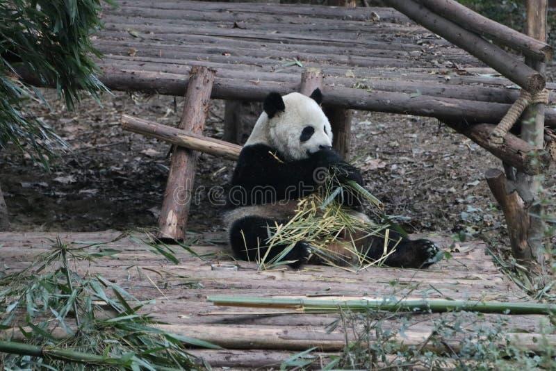 Pandor i Chengdu, Kina royaltyfri foto