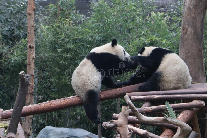 Pandor i Chengdu, Kina arkivfoto