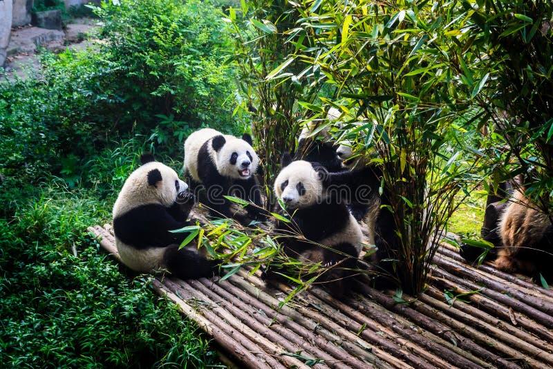 Pandor som tycker om deras bambufrukost i Chengdu forskninggrund, royaltyfria foton