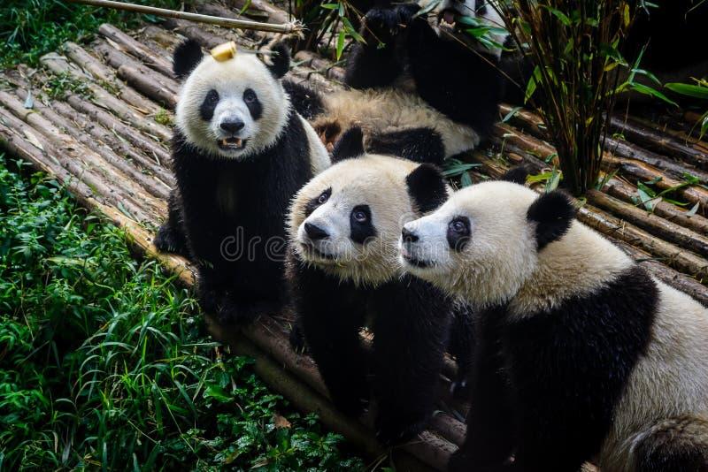 Pandor som tycker om deras bambufrukost i Chengdu forskninggrund, arkivbilder
