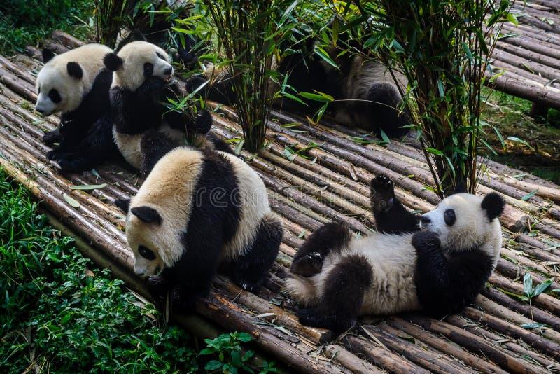 Pandor som tycker om deras bambufrukost i Chengdu forskninggrund, royaltyfri foto