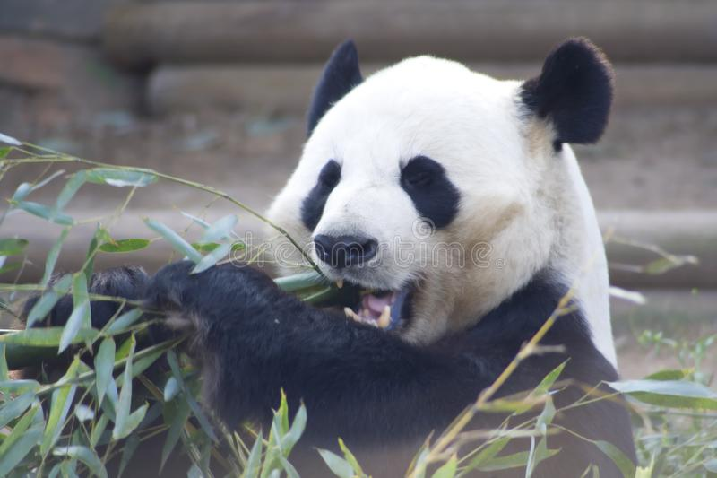 Pandy łasowania bambus obraz stock
