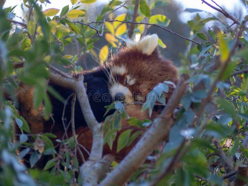 pandy drzewo czerwony sypialny obraz royalty free
