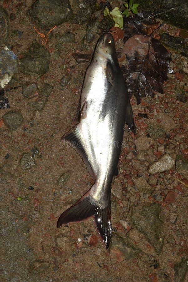 Pangasius ryba jest zaperzonym rybą zdjęcia royalty free