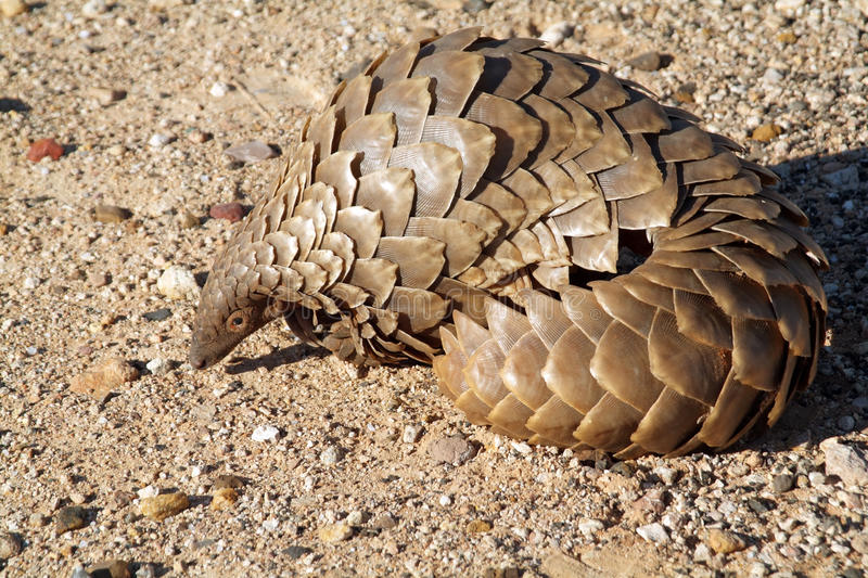 Pangolin in the Northern Cape S Africa stock photos