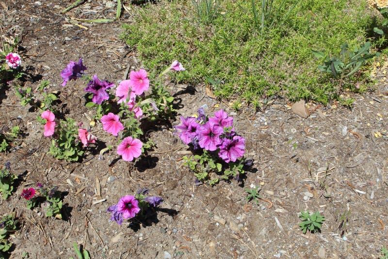 Panicled hydrangea hortensia 78 royalty-vrije stock foto's