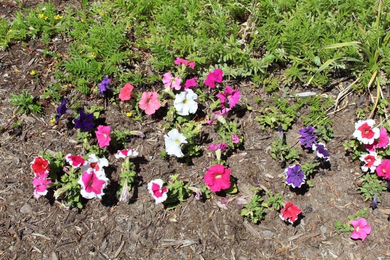 Panicled hydrangea hortensia r stock afbeeldingen